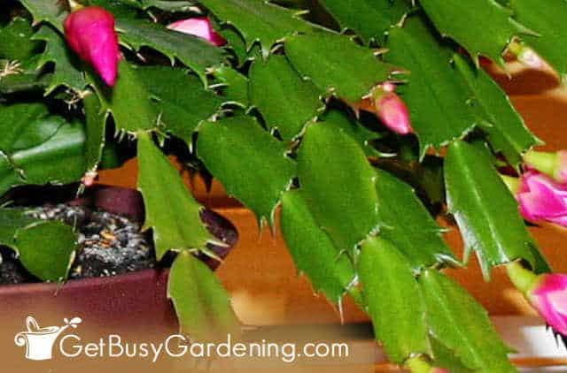 Stachelige Ränder auf Thanksgiving-Kaktusblättern