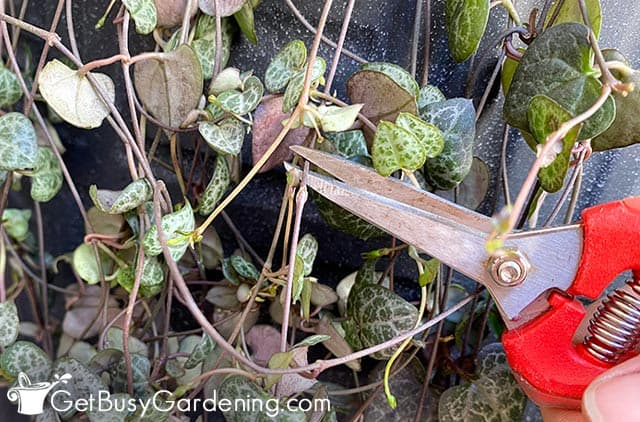 Taking cuttings for propagating my string of hearts plant