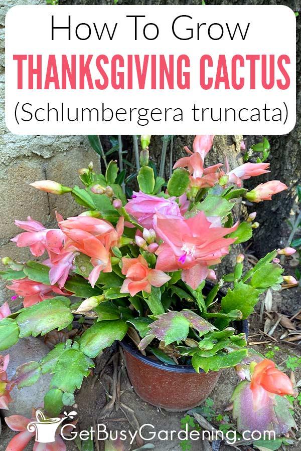 How To Grow Thanksgiving Cactus (Schlumbergera truncata)