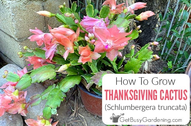 How To Care For A Thanksgiving Cactus Plant (Schlumbergera truncata)