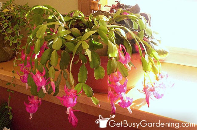 Christmas cactus getting too much sun