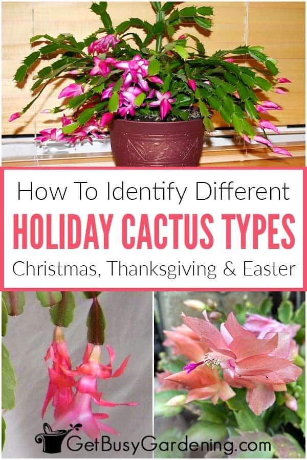 Wie man verschiedene Feiertags-Kaktus-Arten identifiziert Weihnachten, Thanksgiving und Ostern