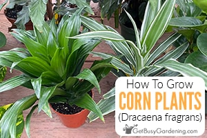 How To Care For Corn Plants (Dracaena fragrans)
