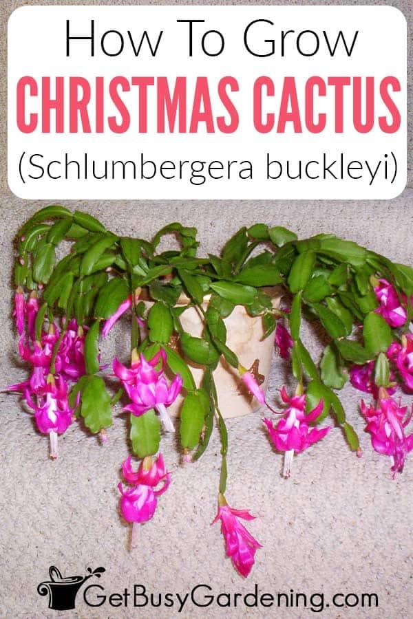 How To Grow Christmas Cactus (Schlumbergera buckleyi)