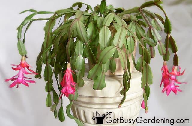 My December cactus flowering with pink blooms